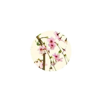 富士枝垂れ桜鉢植え