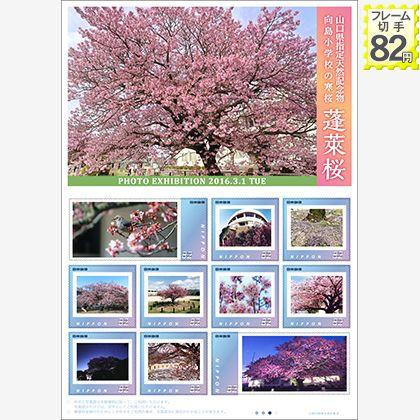 山口県指定天然記念物 向島小学校の寒桜 蓬莱桜