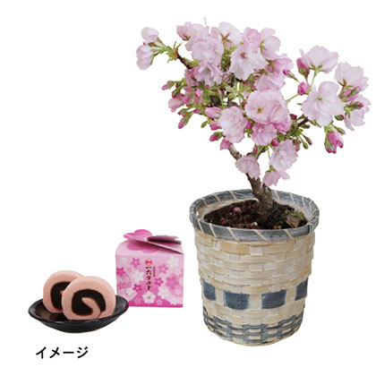 旭山桜とひと切れ一六タルト(桜)