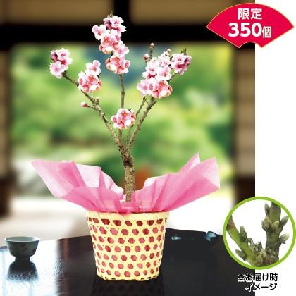 桃「ボナンザピーチ」鉢植え