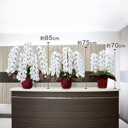 胡蝶蘭(白)3本立ち 27〜30輪以上(蕾含む)