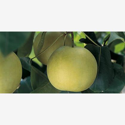 鳥取の二十世紀梨 5kg