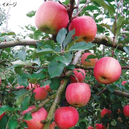 青森県産「特A サンふじりんご」