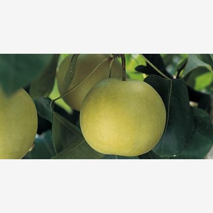 【期間限定商品】鳥取の二十世紀梨 5kg