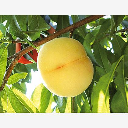 岡山白桃 1.2kg