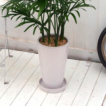 観葉植物「メキシコケンチャヤシ ホワイトポット」