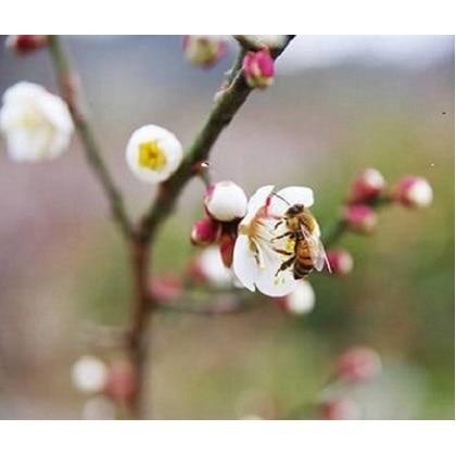 熊野れんげ蜂蜜「しそ南高梅」1kgx2箱