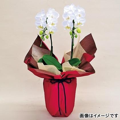 ミディ胡蝶蘭(白)2本立