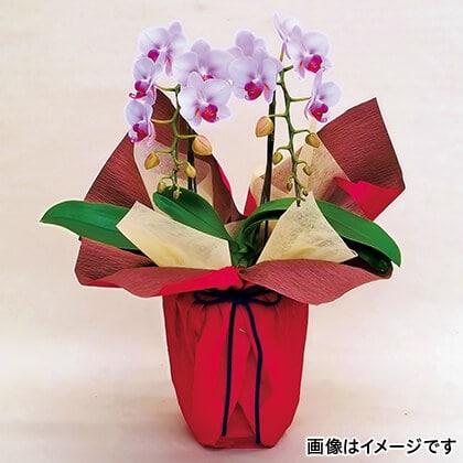ミディ胡蝶蘭(ピンク)2本立