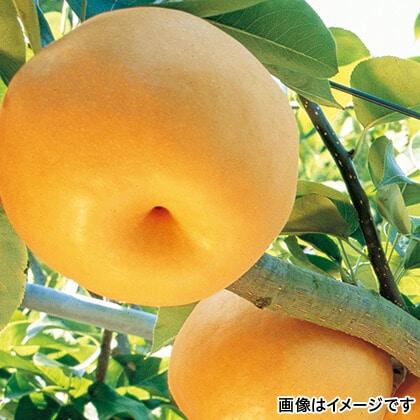 ISO認証園の新高梨