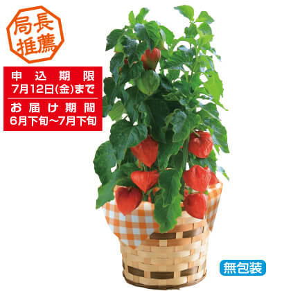 夏の風物詩「ほおずき鉢植」