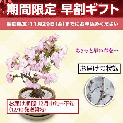 """和盆栽""""桜"""""""