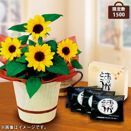 ひまわり鉢植え&ドリップコーヒーセット
