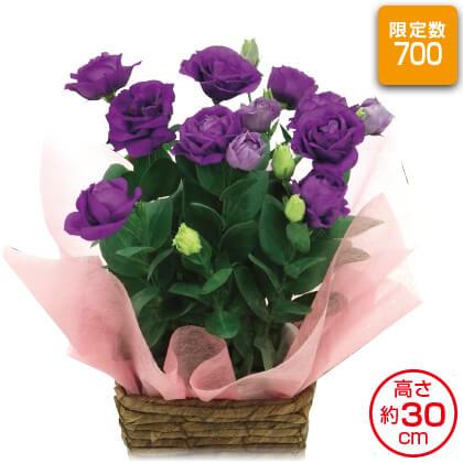 八重咲きトルコキキョウ(紫系)