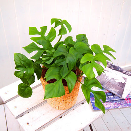 観葉植物「ヒメモンステラ・バスケット」