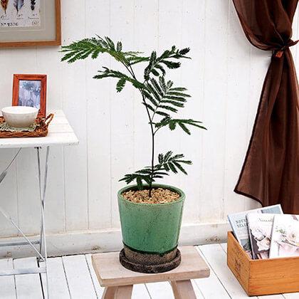 観葉植物「エバーフレッシュ(M)」
