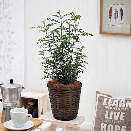 観葉植物「トネリコ・バスケット」