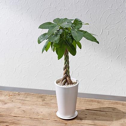 観葉植物「パキラ(M)ホワイトポット」