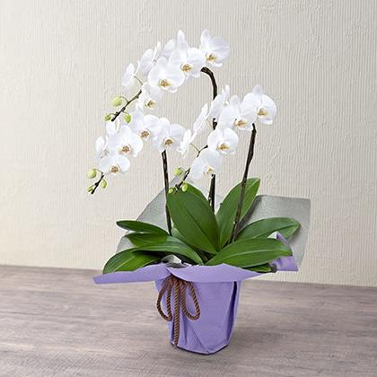 ミディ胡蝶蘭(ホワイト)3本立ち(ラッピングパープル)