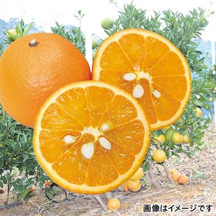 沖縄県産たんかん(家庭用)