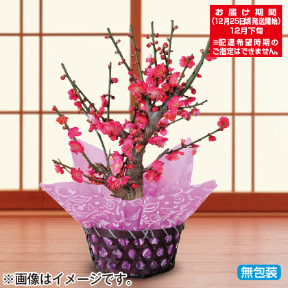 紅梅鉢植え