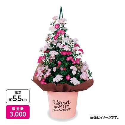 ミニつるバラ「舞姫×琴姫」ツリー仕立て
