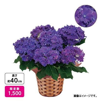 <※母の日対象商品>アジサイ「カーリースパークル」(ブルー)