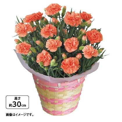 カーネーション鉢(オレンジ)