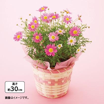 マーガレット鉢(ピンク)