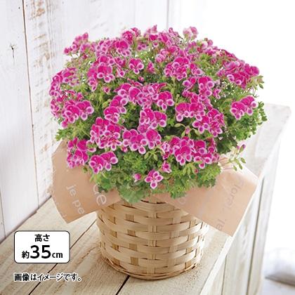 ペラルゴニューム鉢(ピンク)
