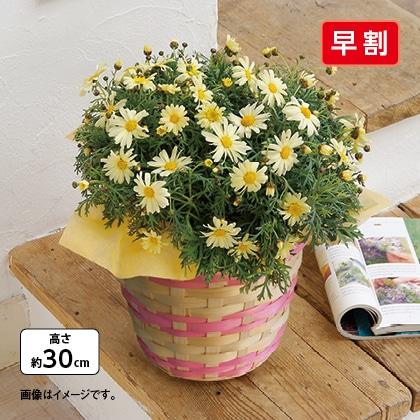 マーガレット鉢(黄色)