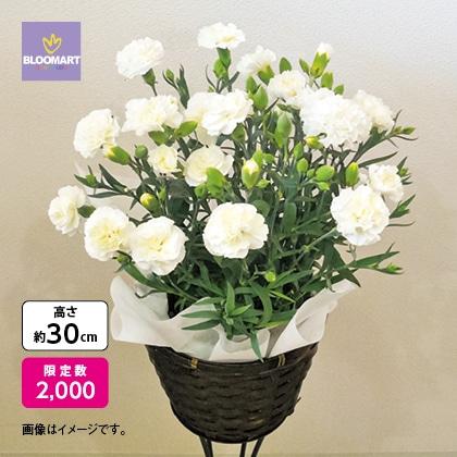 白いカーネーション鉢花