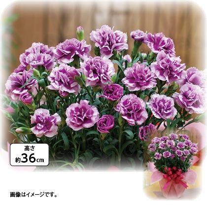 変わり咲きカーネーション「オルフィカ」鉢植え