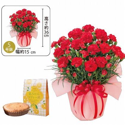 【母の日】赤カーネーション鉢植えと夏みかんマドレーヌ