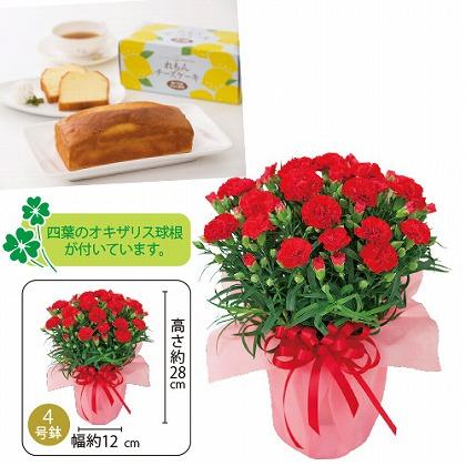 【母の日】赤カーネーション鉢植えとれもんチーズケーキセット