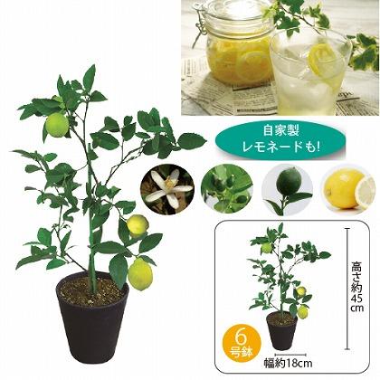【父の日】レモンの木