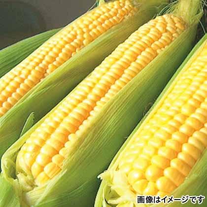 【期間限定商品】ゴールドラッシュ 10本