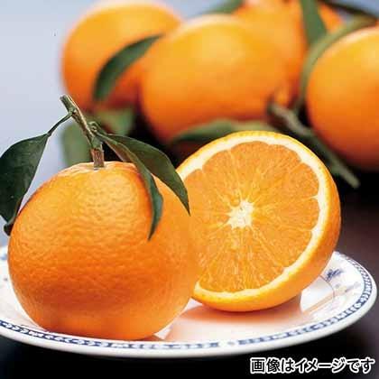 【期間限定商品】清見オレンジ
