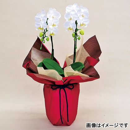 【期間限定商品】ミディ胡蝶蘭(白)2本立