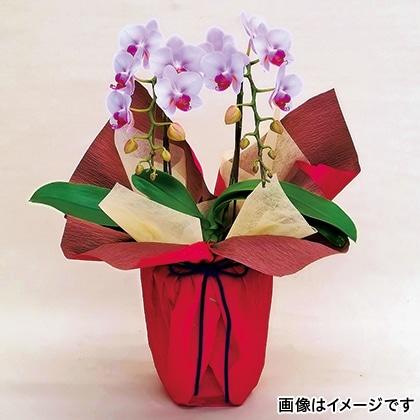 【期間限定商品】ミディ胡蝶蘭(ピンク)2本立