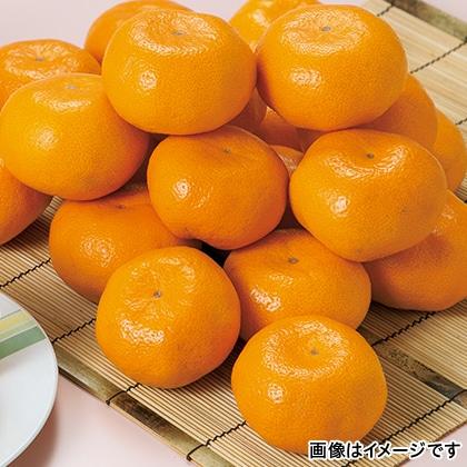 【期間限定】 熊本みかん 4.3kg