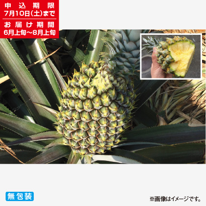 <※お中元対象商品>沖縄県産 手でちぎれるボゴールパイン 1.4kg