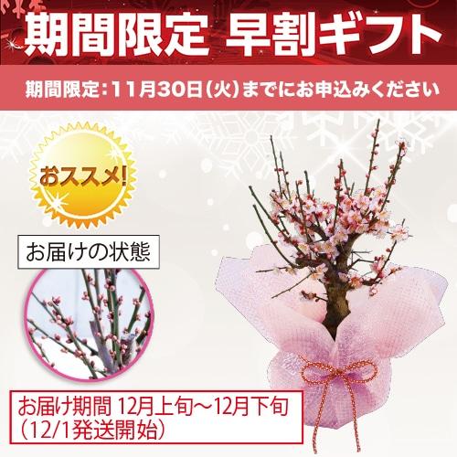 <※お歳暮対象商品>梅盆栽