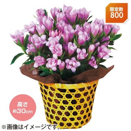 〈※敬老の日対象商品〉りんどう「桜孔雀」