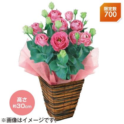 〈※敬老の日対象商品〉八重咲きトルコギキョウ