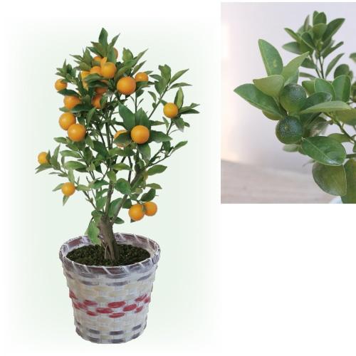 〈※敬老の日対象商品〉金柑の木