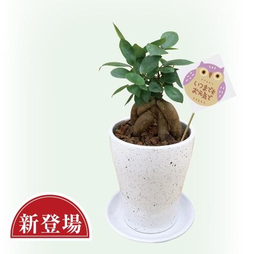 〈※敬老の日対象商品〉ガジュマル陶器鉢植え