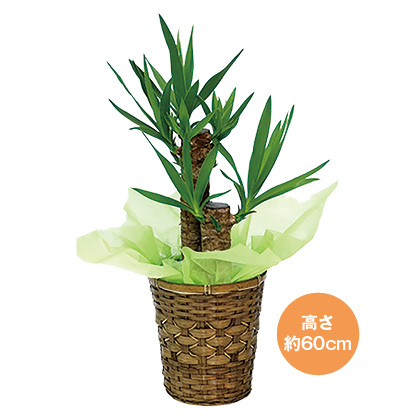 <日比谷花壇>ユッカ(青年の木)6号鉢