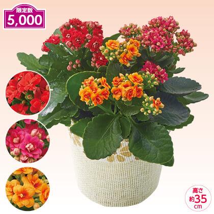 カランコエ バラ咲き3色植え