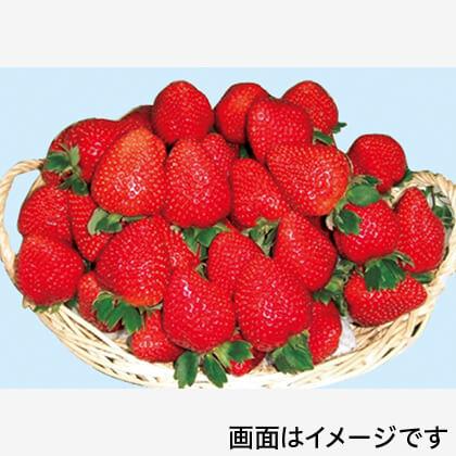 真っ赤な大粒いちご(バスケット入)